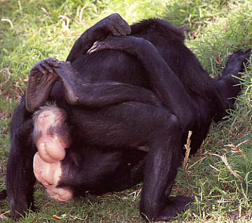 tube bonobo mating